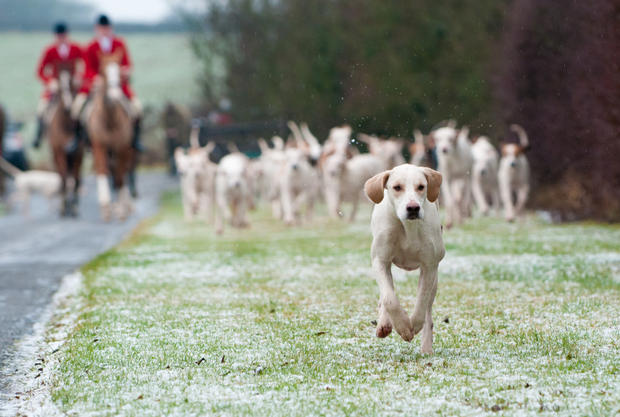 A single Quorn foxhound leads the pack into Eye Kettleby Hall.